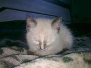 ищу симского котика моей сиамской кошечке на вязку