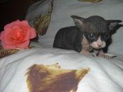 кошку с котятами породы СФИНКСЫ!!!!срочно, в связи с семейными обстоятельствами!!