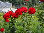 Саженцы роз. Возможен торг. Город Новокузнецк