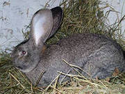 продам крольчат Бельгийский великан не дорого.очень крупные.разных воз