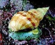 Трубач морской отбеленный оптом