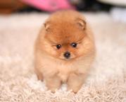 Продаются собачки миниатюрного померанского шпица