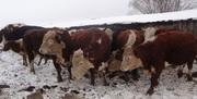 Продам Скот Живым Весом(Быки, коровы, лошади)