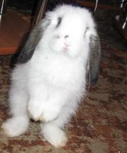 Вислоухая кроля,  породы вислоухий, карликовый баран.
